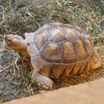 Missing Tortoise In New Whittington - Please Help Us Find Him!